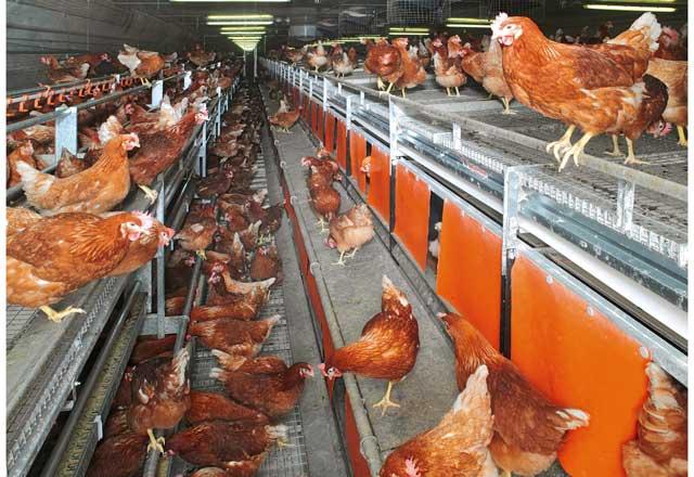 多段式平飼成鶏システム